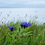 Bloemen bij een fjord in Denemarken